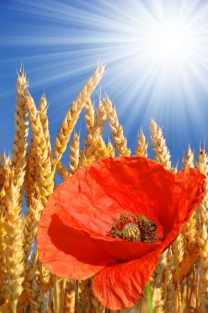 trigo de oro con la amapola roja