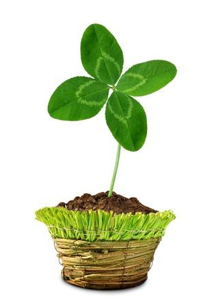 quarterfoil: Clover quarterfoil growing in pot