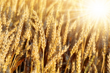 cornfield: golden wheat in the blue sky background