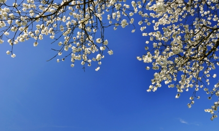 clearing: Blooming cherry tree