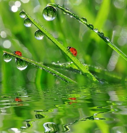 grass close up: fresh morning dew and ladybird