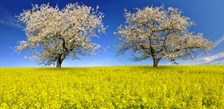 bohemia: Blooming cherry trees on the rapeseed field Stock Photo