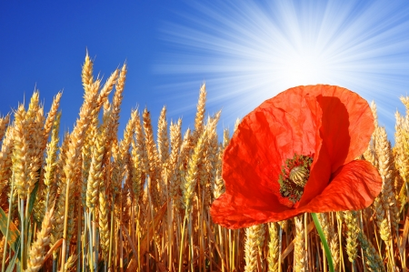 golden wheat with red poppy  photo