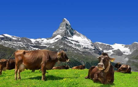 Cow in the meadow In the background of the Matterhorn-Swiss Alps  photo