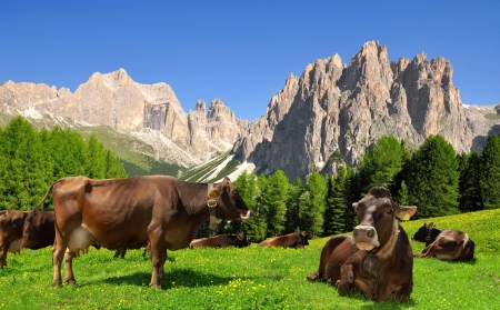cows in Dolomites , Italy  Stock Photo