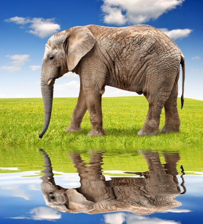 elephant head: African elephant