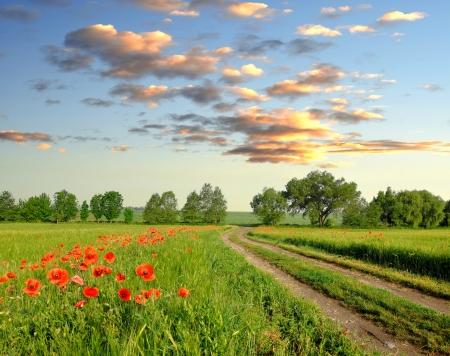 opium poppy: Red poppy in wheat field