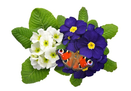 primrose with butterfly isolated on white photo