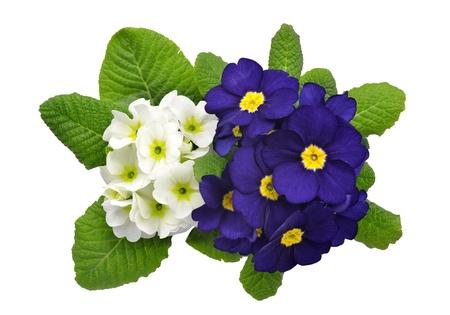 primrose: primrose isolated on white