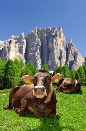 fassa: Cow in the meadow In the background of the Rosengarten - Italy Alps