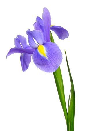 iris pourpre fleur isolée sur fond blanc Banque d'images