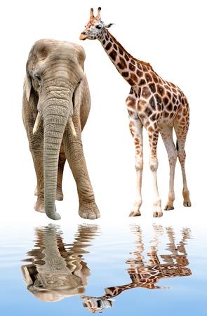 giraffes with elephant isolated on white  photo