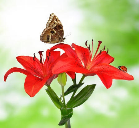 Lily with butterfy Morpho on green background  photo