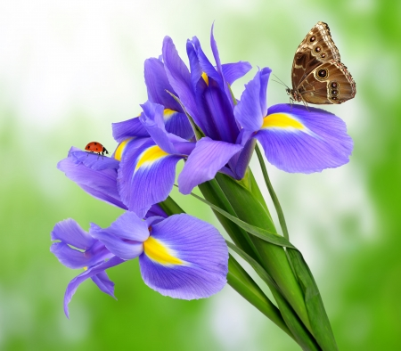 purple iris flower with butterfly morpho on green background