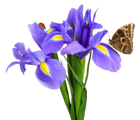 purple iris flower with butterfly morpho isolated on white photo
