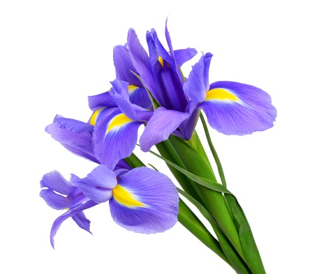 irises: purple iris flower isolated on white background  Stock Photo
