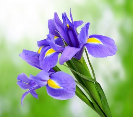 violet iris fleur sur fond vert