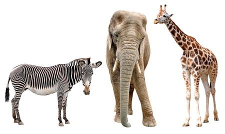 jirafas, elefantes y cebras aislados en blanco