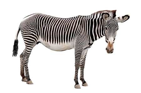 burchell: zebra isolated on white background