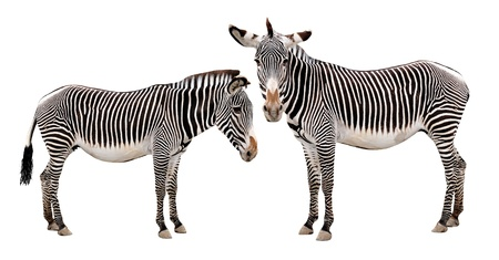 burchell: zebras isolated on white background