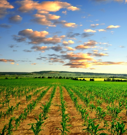 ethanol: Corn field in the sunset Stock Photo