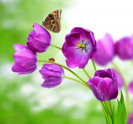 mariquitas: tulipanes púrpuras frescas con la mariposa Morpho Foto de archivo