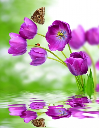 april flowers: fresh purple tulips with butterfly morpho on green background  Stock Photo