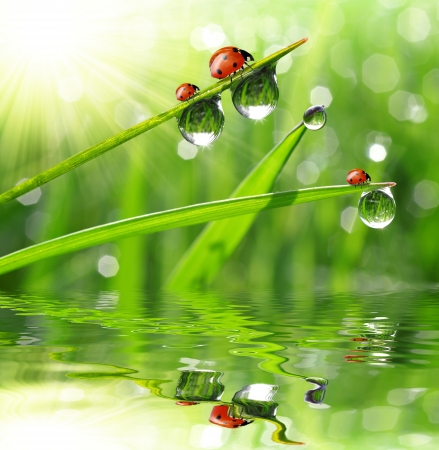 mirror on the water: fresh morning dew and ladybird  Stock Photo