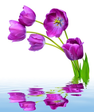 fresh purple tulips  photo