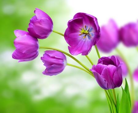 fresh purple tulips  photo