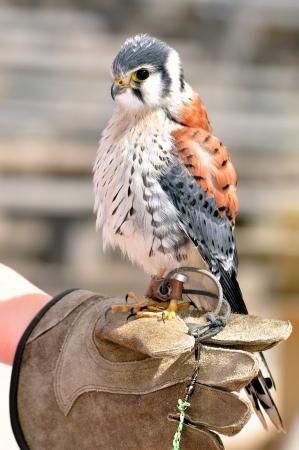 sparrowhawk: little American Kestrel  Falco sparverius
