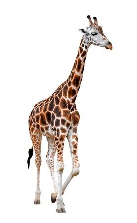 giraffe isolated  Stock Photo