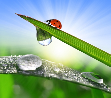 Fresh morning dew and ladybug  photo