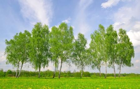 birch tree: Spring landscape with birch trees
