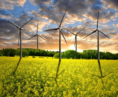 rapeseed field with wind turbine  photo