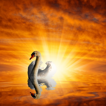 pall:  swan in the sunset