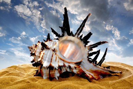 conch: Conch shell on beach