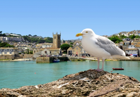 south west england: Seagull in St Ives harbour Cornwall England UK