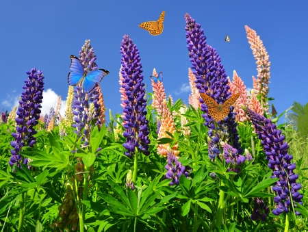 lupine: Lupines, spring flowers with butterflies