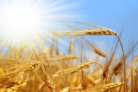 espigas: trigo dorado con cielo soleado Foto de archivo