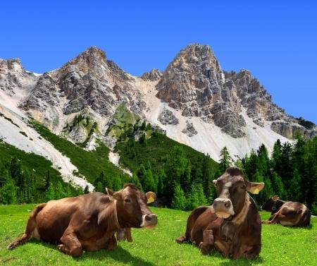 dolomite: Herd of Cow in Dolomite Alps,Italy