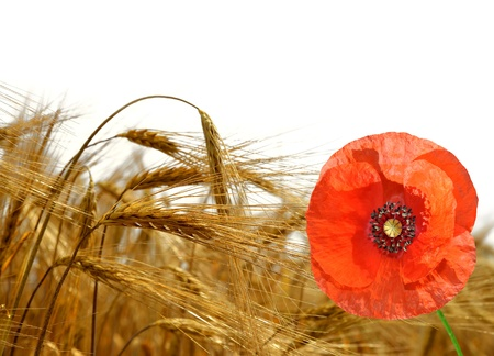 golden barley with red poppy isolated  photo