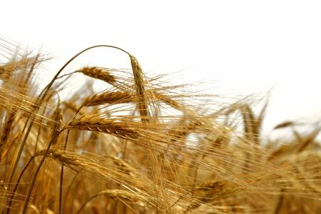 cornfield: golden barley isolated