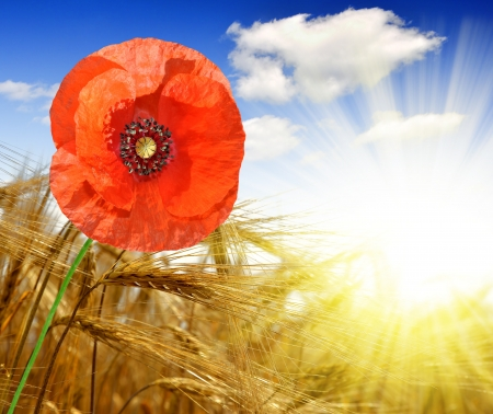 golden wheat with red poppy in the sunny sky background  photo