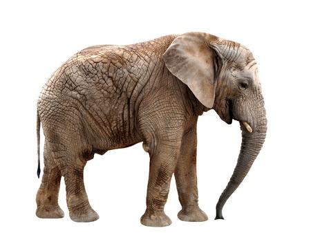 elephant: con voi châu Phi bị cô lập trên trắng Kho ảnh
