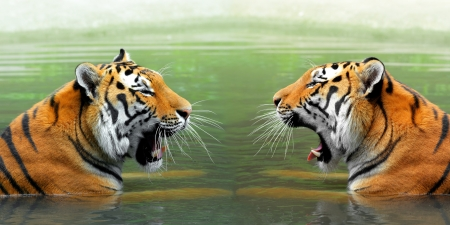 Siberian Tigers in water Stock Photo - 21860222