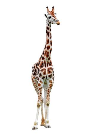 jirafa fondo blanco: jirafa aisladas sobre fondo blanco