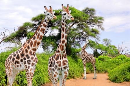 kruger: Giraffes in Kruger park South Africa