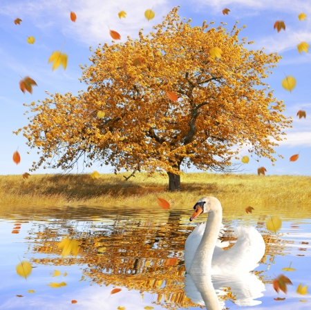 Swan in autumn landscape with the falling leaves