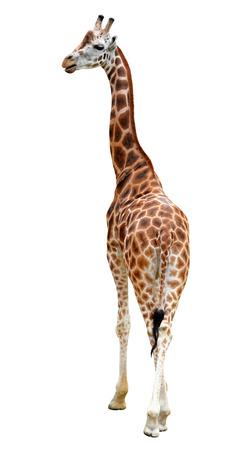 youngly: giraffe isolated  Stock Photo